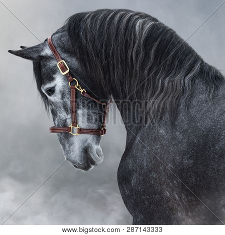 Close up portrait of dark gray Purebred Andalusian horse in halter in light smoke.