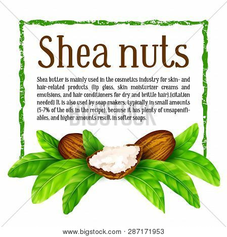Shea Nuts With Leaves In Vector. Vector Shea Nuts With Shea Butter And Green Leaves In A Square Text