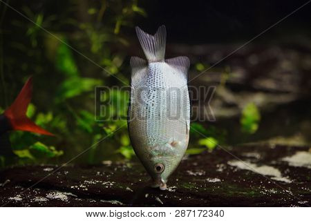 Kissing gourami (Helostoma temminckii), also known as the kissing fish.