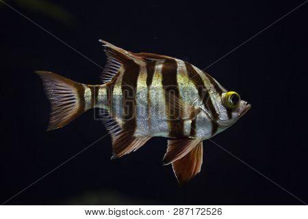 Old wife (Enoplosus armatus). Tropical fish.