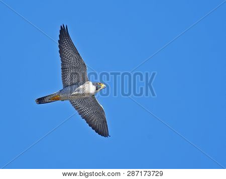A Peregrine Falcon In Flight Blue Sky