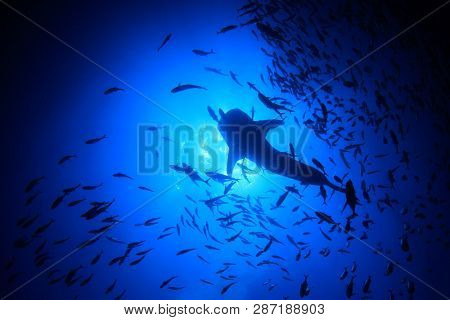 Whale Shark and Trevally fish from below