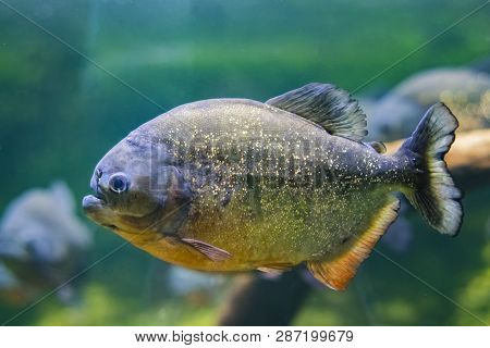The Red-bellied Piranha, Also Known As The Red Piranha Pygocentrus Nattereri, Is A Species Of Piranh
