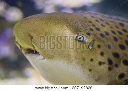 The Head Of Zebra Shark Swims At A Coral Reef In The Indian Ocean.