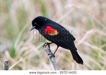 Red Winged Blackbird On A Stick And Singing.