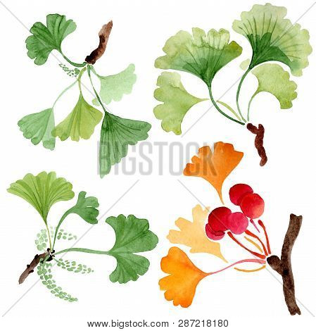 Ginkgo Biloba Green And Orange Leaves. Plant Foliage. Watercolor Background Set. Isolated Ginkgo Ill