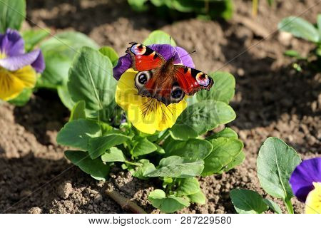 Colorful butterfly with fully open wings on top of bicolor Wild pansy  poster