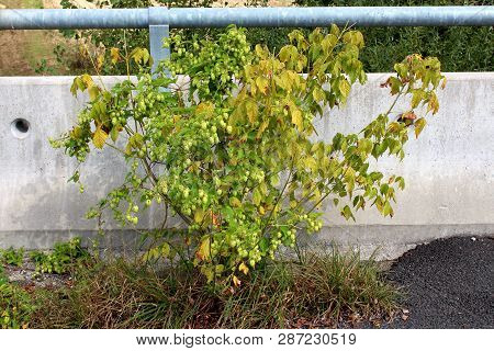 Common Hop Or Humulus Lupulus Or Hops Dioecious Perennial Herbaceous Climbing Flowering Bine Plant G