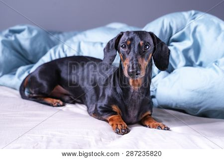 Cute Little Dachshund Dog, Black And Tan, Lying On Bed. Pets Friendly  Hotel Or Home Room.