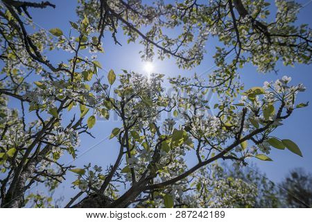 White Spring Blossoms Of An Apple Tree With The Sun Behind