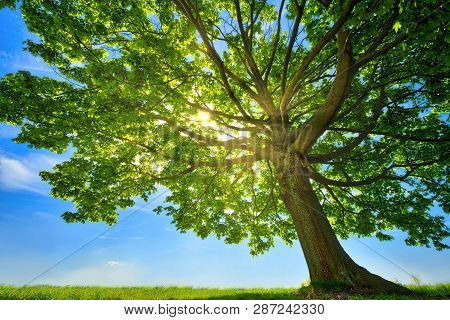 Old Maple Tree With The Sun Behind And Meadow