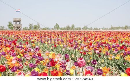 Multi colored tulip field in the Netherlands with watch-tower poster