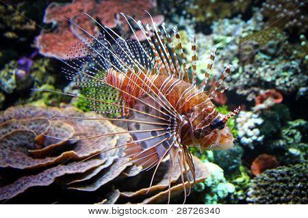 die rote Feuerfische (Pterois Volitans)