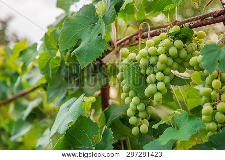 Green Young Wine Grapes In The Vineyard. Beginning Of Summer Close Up Grapes Growing On Vines .