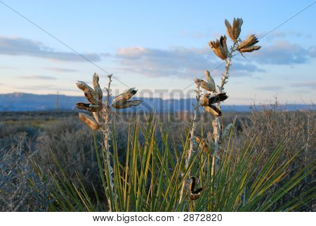 Yucca With Seedheads_Edited1