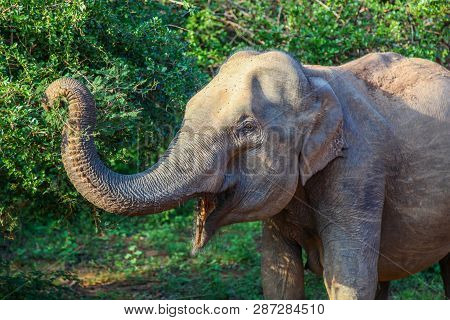 Closeup Profile Of Asian Elephant Reaching For Leaves In Yala National Park