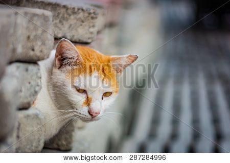 White-and-ginger Cat Looks From Behind A Gray Wall And Looks Ahead, Cat`s Yellow Eyes, Gray Blurred