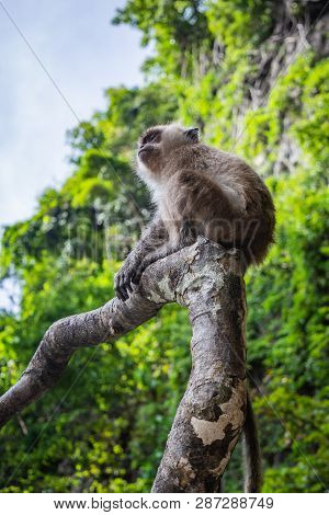 Small Monkey Sitting On A Tree Branch On A Monkey Beach In Thailand, Green Trees And Blue Sky In The