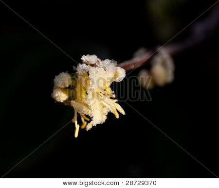 Sunlight on Frost on winter-flowering Shrubby Honeysuckle poster