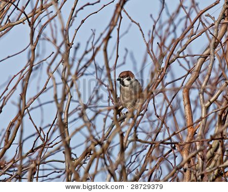 Uncommon Eurasian Tree Sparrow male perched in tangle of branches poster