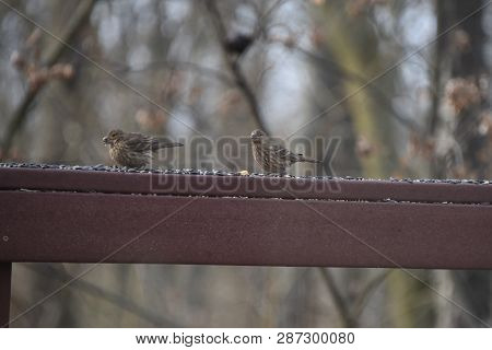 A Pair Of Two Female House Finches Eating Birdseed On A Backyard Deck Porch In Winter