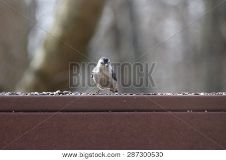 Nuthatcher Small Tiny Bird Eating Birdseed On A Backyard Deck Porch