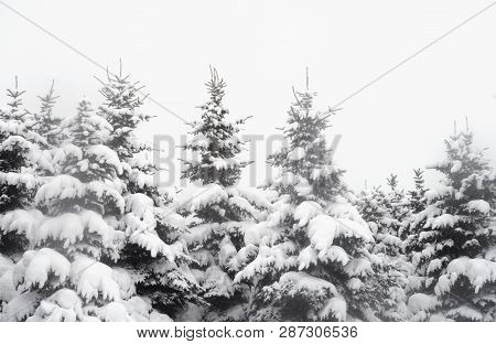 Spruce Trees Covered With Snow At Cloud Day.