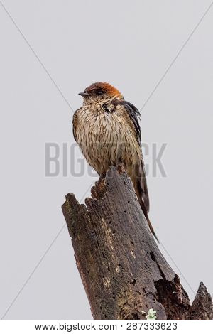 A Greater Striped Swallow perched on a tree stump on a rainy morning in the Natal Midlands, South Africa. poster