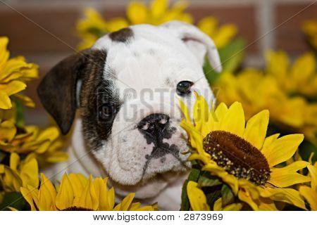 Sweet English Bulldog Puppy Sitting In Sunflowers