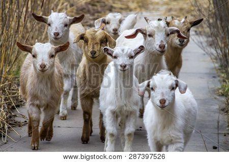 Herd Of Young Goat Kids Walking On Sidewalk