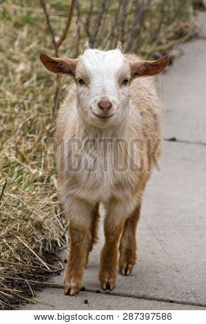 Young Goat Kid Walking On Sidewalk, Rural Kansas