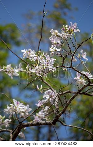 Bauhinia Variegata Purple Orchid Tree A Species Of Plant Family Fabaceae.