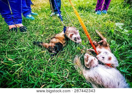 Two Home Raccoons On Leash Play In Grass Near Owners