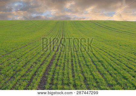 Spring Field With Growing Young Plants, Agricultural Concept