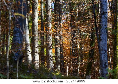 Panorama Of Colorful Forest In Autumn