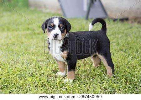 Swiss Appenzeller Dog Puppy Sitting In The Garden