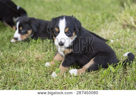 Swiss Appenzeller Dog Puppies Sitting In The Garden