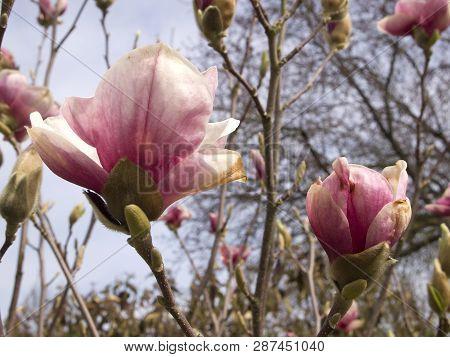 Close Up Of A Magnolia Tree In Sunny Springtime