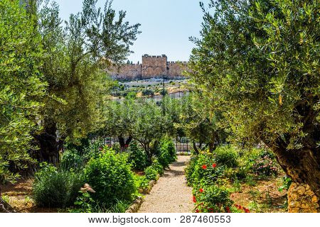 Gethsemane Garden on the Mount of Olives in Jerusalem. Magnificent well-kept garden - a symbol of the Christian faith. The concept of historical, religious and ethnographic touris