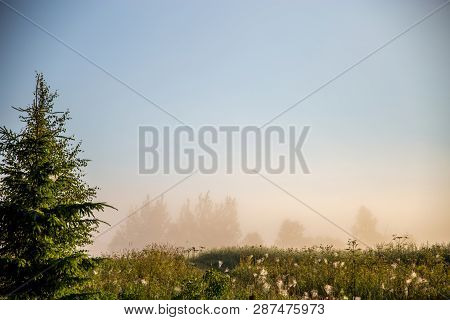 Foggy Field With Spruce Tree. Summer Landscape With Cornfield, Wood And Cloudy Blue Sky. Classic Rur