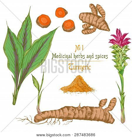 Set Color Hand Drawn Of Turmeric Roots, Lives And Flowers Isolated On White Background. Retro Vintag