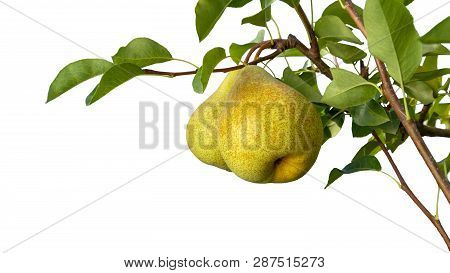 Isolate On White Background Pear Branch With Fruits And Leaves Close-up Macro. Copy Space