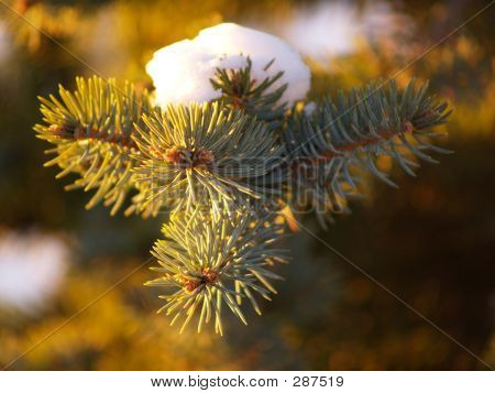 Snow On A Spruce Tree