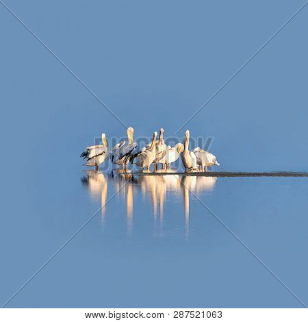 Great white pelican group on the blue waters of the wetlands of Amboseli, Kenya. Space for your text.