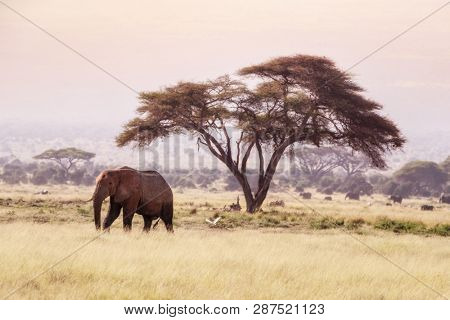 Elephant walks past an acacia tree in Amboseli National Park, Kenya, and an egret flies behind. Early morning light with heat haze distoring the tree line and elephants in the background.