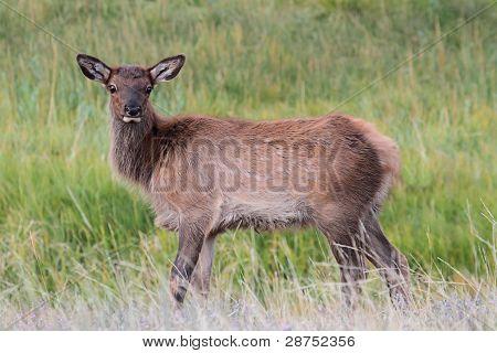 Elk Calf (cervus Canadensis)