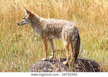 Western Coyote (Canis latrans) in a field in Yellowstone National Park poster