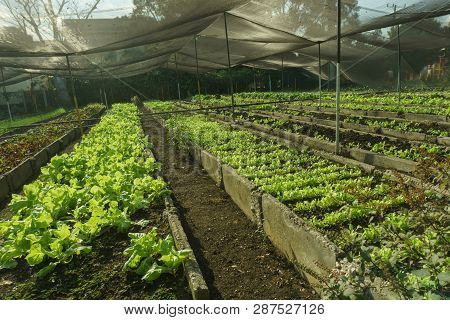 Organic Lettuce In The Garden, Green Plants