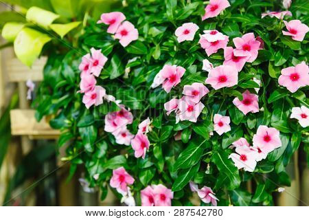 Pink Vinca (periwinkle) Flowering Evergreen Ornamental Plant With Flat Five-petaled Flowers And Glos