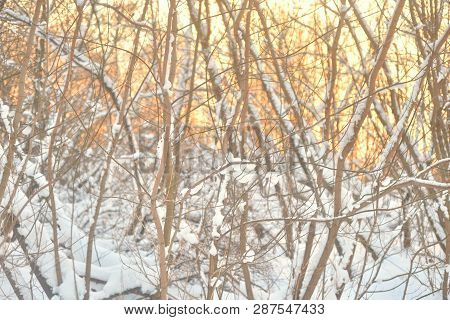 Snow Covered Tree Branches At Winter Sunset.